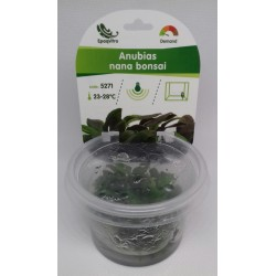ANUBIAS NANA BONSAI IN VITRO