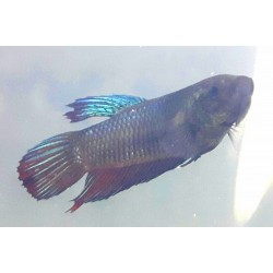 BETTA MALE PLAKAT 10
