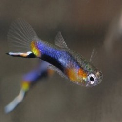 POECILIA WINGEI BLUE STAR (...