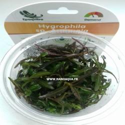 HYGROPHILA SP ARAGUAIA IN...
