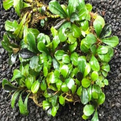BUCEPHALANDRA GREEN LIGHT