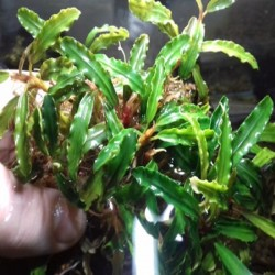 BUCEPHALANDRA POINTED GREEN...